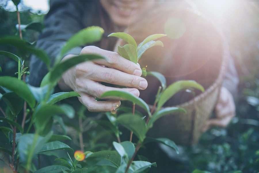 Raccolta di piante e erbe officinali